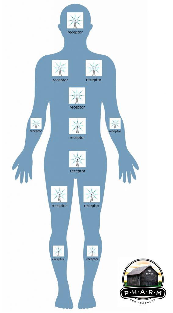 the ECS or endocannabinoid receptors